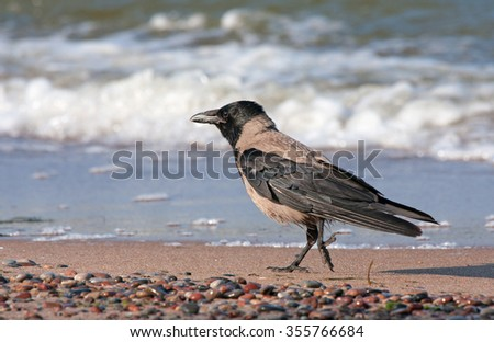 Funny crow on the beach. Hooded Crow (Corvus cornix).