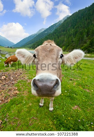 Funny curious cow head - stock photo