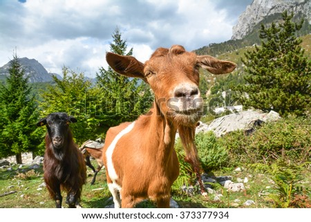 Funny curious goat looking at the camera. - stock photo