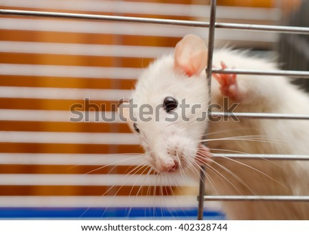 Funny curious white rat looking out of a cage (shallow DOF, selective focus on the rat nose) - stock photo