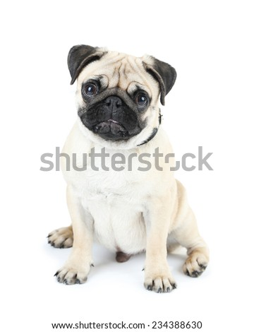 Funny, cute and playful pug dog isolated on white - stock photo