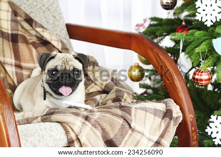 Funny, cute and playful pug dog on rocking chair near Christmas tree on light background - stock photo