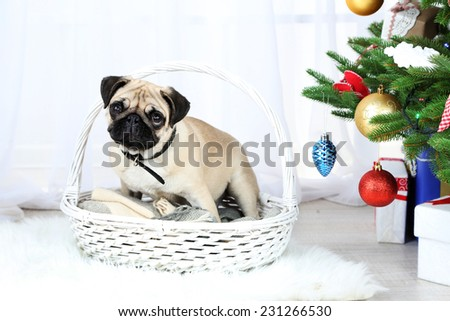 Funny, cute and playful pug dog on white carpet near Christmas tree on light background - stock photo