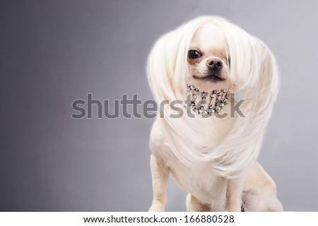 funny cute chihuahua dog sitting and looking at camera - stock photo