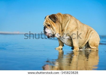 Funny cute dog english bulldog sitting in the water looking on his mirror reflection - stock photo