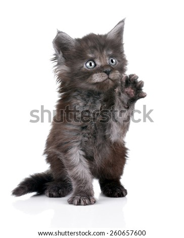 funny cute kitten gives paw and looking up