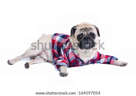 Funny cute pug dog pet wearing squared pattern shirt, lying on the floor, looking at camera. Isolated on white background - stock photo