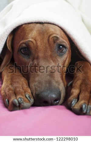 Funny cute rhodesian ridgeback dog laying on a bed on warm pink blanket - stock photo