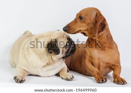 Funny Dachshund and Pug