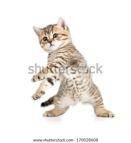 Funny dancing kitten on white background - stock photo