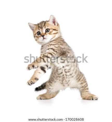 Funny dancing kitten on white background - stock photo