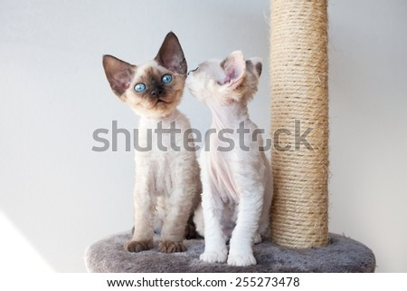 Funny devon rex kittens on the scratching post - stock photo