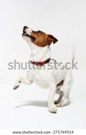 Funny dog, a Jack Russell terrier. The dog breed Jack Russell terrier white with a brown patch on a white background - stock photo