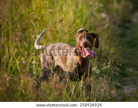 Funny dog after long run - stock photo
