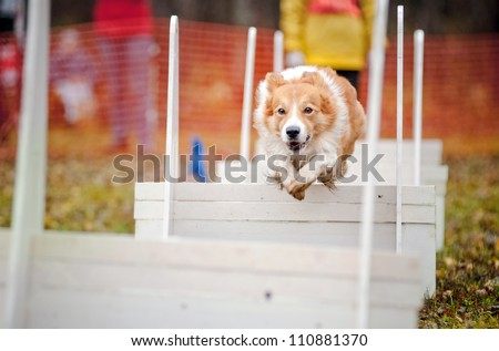 funny dog border collie jumping in competitions of flyboll - stock photo