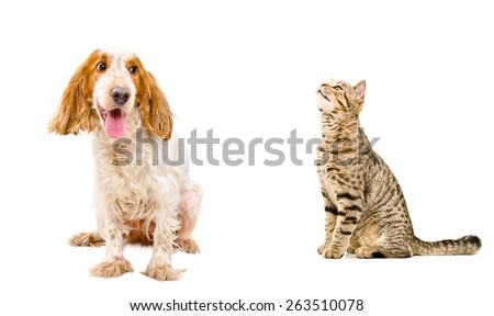 Funny dog breed Russian Spaniel and cat Scottish Straight sitting together isolated on white background - stock photo