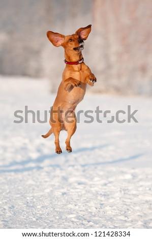 funny dog dachshund  jumps up - stock photo