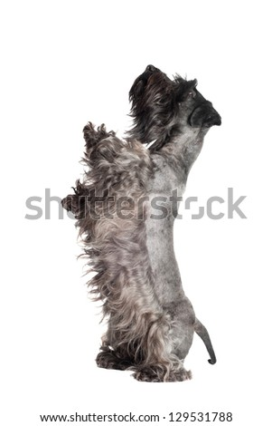 funny dog dancing - stock photo
