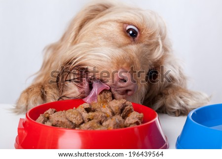 Funny dog eating food from red bowl - stock photo