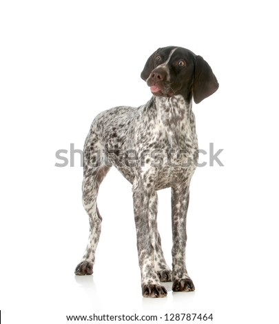 funny dog - german shorthaired pointer sticking tongue out isolated on white background - stock photo