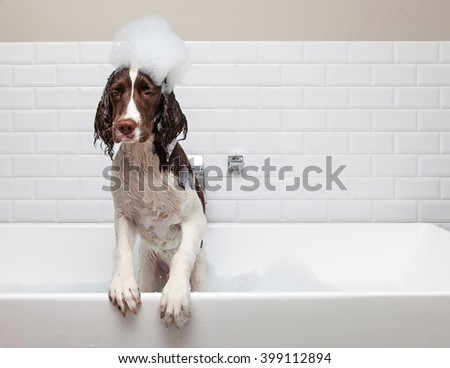Funny dog in bathtub with suds on head getting ready to jump out