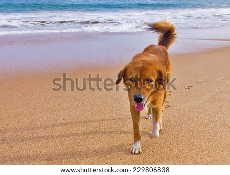 Funny dog on the beach. The dog go to the meeting with a smile on his face. Smiling dog on the sandy beach of the ocean.