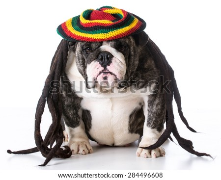 funny dog wearing dreadlock wig on white background - bulldog - stock photo