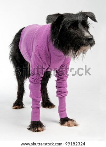 Funny dog wearing sweater isolated on white background - stock photo