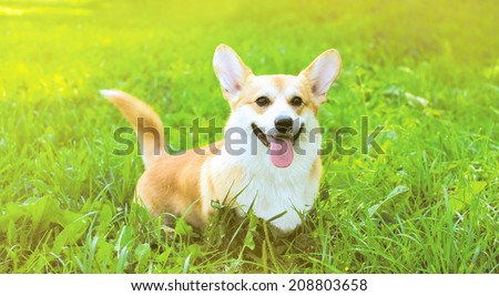 Funny dog Welsh Corgi Pembroke on the grass summer - stock photo