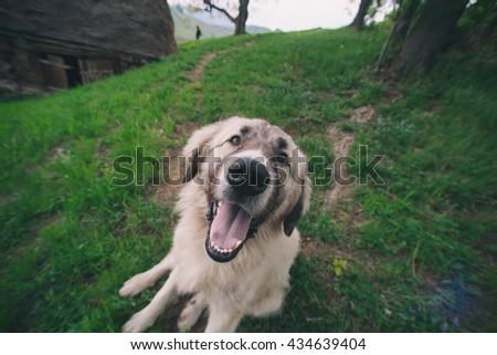 Funny dog (wide angle lens) - stock photo