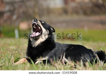 Funny dog with bared teeth - stock photo