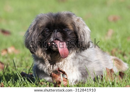 Funny dog with his long tongue in Summer