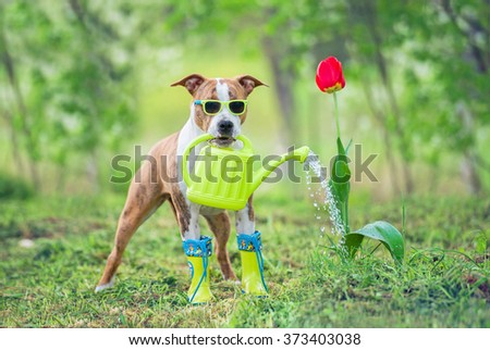 Funny dog with sunglasses and boots watering a flower from a watering can - stock photo