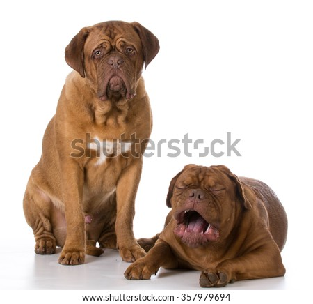 funny dogue de bordeaux puppies with crying expression - stock photo