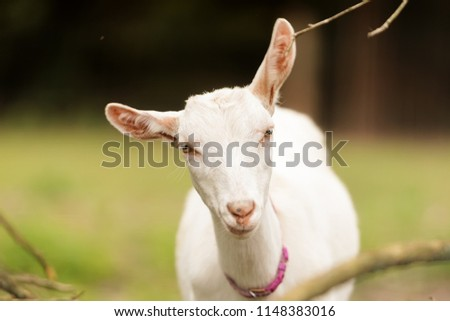 stock-photo-funny-domestic-goat-capra-ae