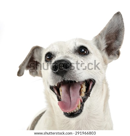 funny ears mixed breed dog portrait in white studio