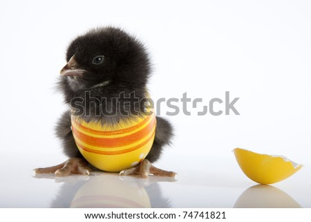 Funny Easter greeting with a black baby chicken in a painted yellow eggshell. High resolution photography taken in studio. - stock photo