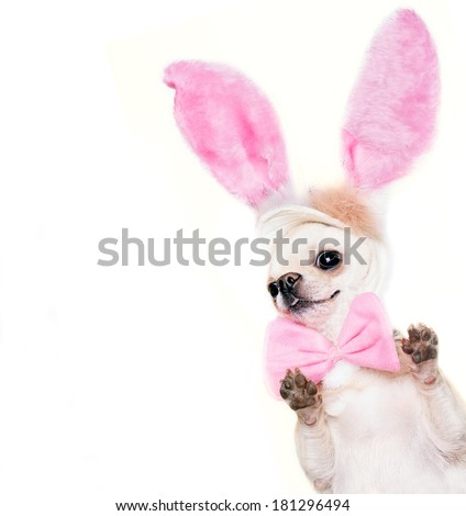 funny Easter hare dog in a costume of a hare isolated