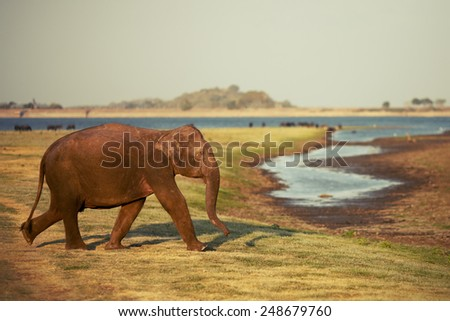 Funny elephant covered with mud walking on blurry background - stock photo