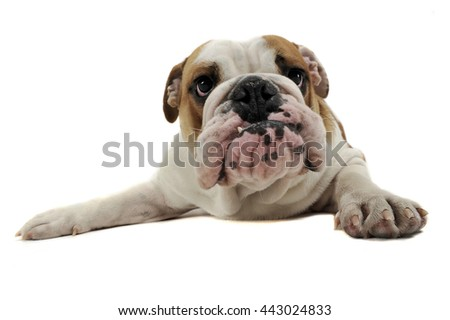Funny English Bulldog enjoy the photo studio