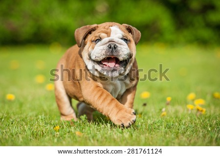 Funny english bulldog puppy playing in the park - stock photo