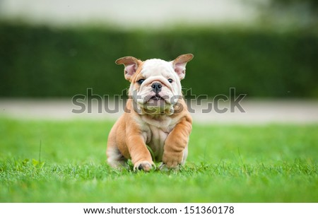 Funny english bulldog puppy running on the lawn - stock photo