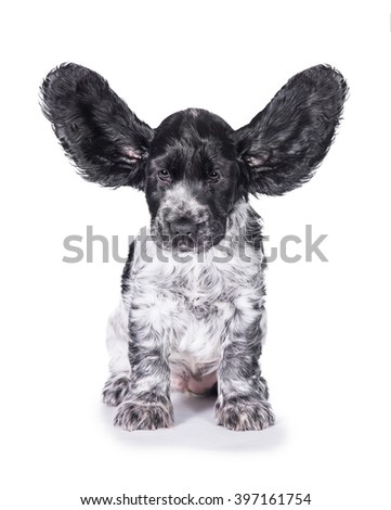 Funny english cocker spaniel puppy with ears up isolated on white - stock photo