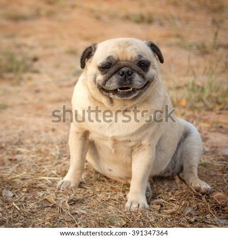 Funny face of fawn pug dog.(Fawn pug dog sitting on ground.) - stock photo