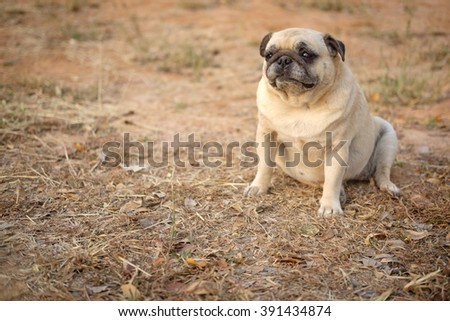 Funny face of fawn pug dog.(Fawn pug dog sitting on ground.)