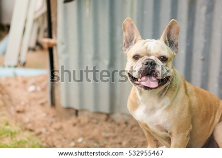 Funny face of french bulldog.