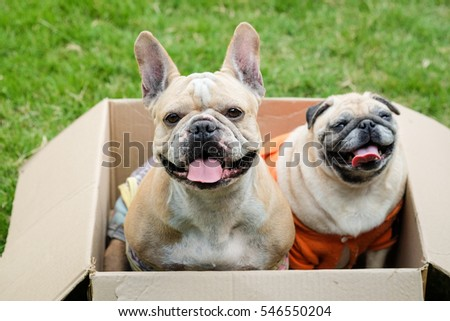 Funny face of french bulldog playing in the box.