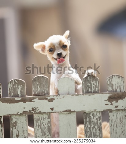 funny face of pomeranian dog climbing wooden fence of home to outing out side owner home ,lovely of pets , animals ,doggy - stock photo