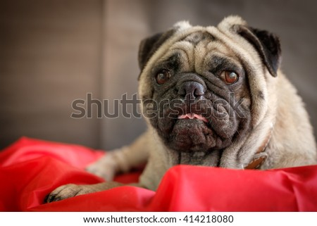 Funny face of pug dog.(Fawn pug dog lying on red pad with black background.) - stock photo