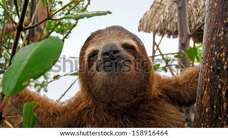 Funny face of young three toed sloth, Caribbean, Costa Rica - stock photo